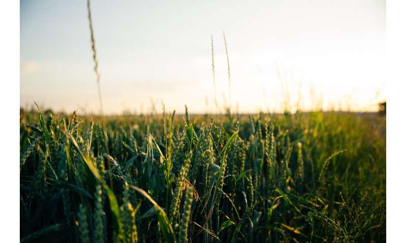 cultivos de avena