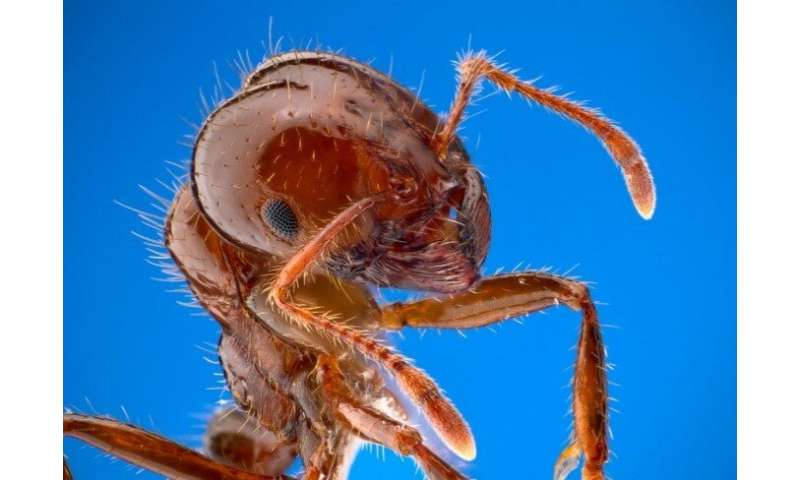 Odors produced by soil microbes attract red fire ants to safer nest sites