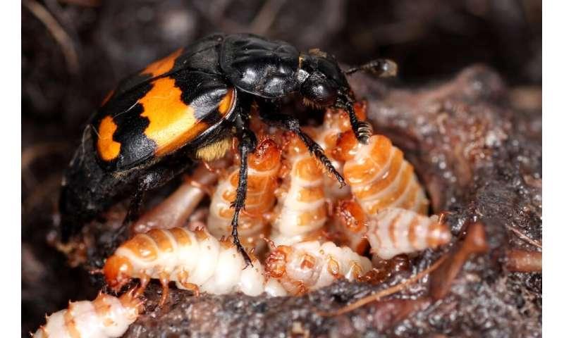 Older beetle parents 'less flexible'