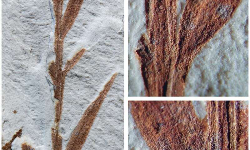 'Oldest bamboo' fossil from Eocene Patagonia turns out to be a conifer