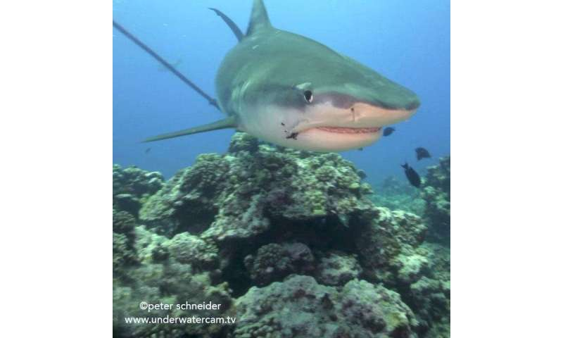 Old fishing hooks are severe hazards for sharks