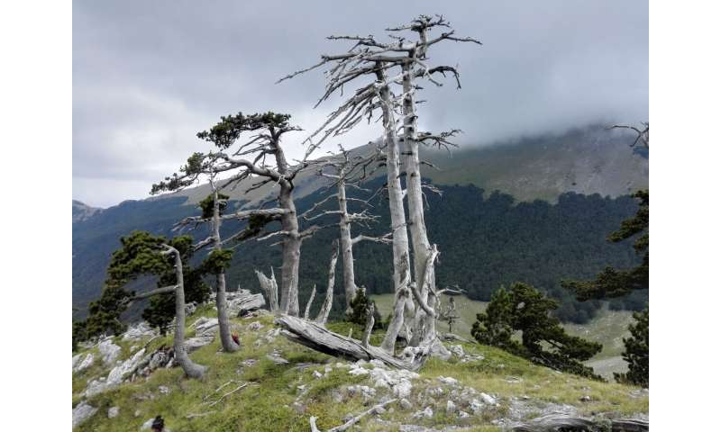 Old pine trees witness the rewilding in Mediterranean mountain forests in consequence of late-medieval pandemics