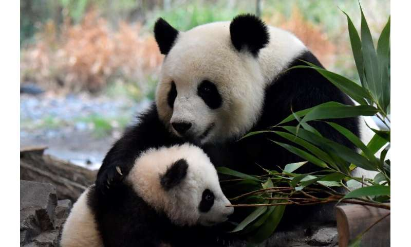 One of the two giant panda cubs with his mother Meng Meng at their enclosure during the first presentation to the media at the B