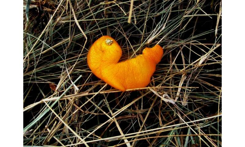 cáscaras de naranja