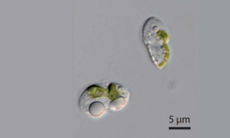Organellogenesis still a work in progress in novel dinoflagellates