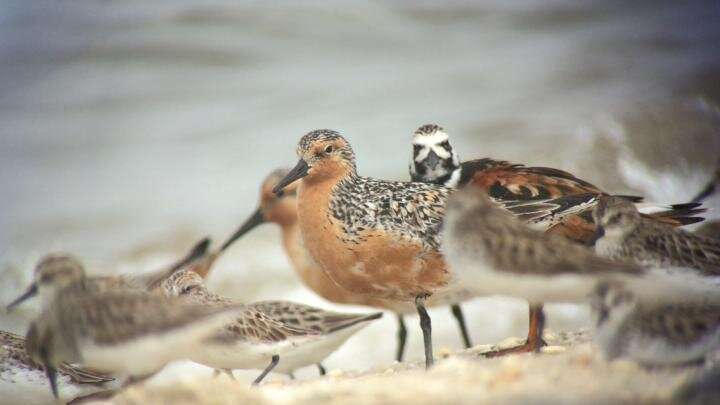 Oyster farming and shorebirds likely can coexist