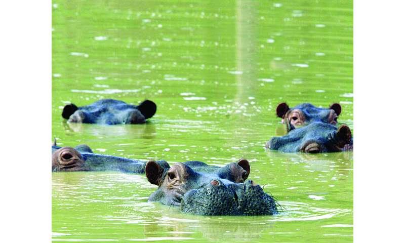 Pablo Escobar's hippos pose environmental dilemma