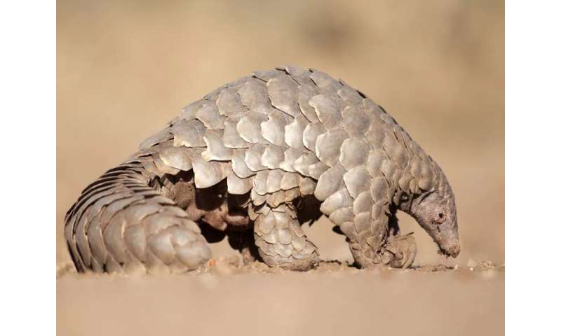 Pangolins hold clues to how COVID-19 began -- and might end