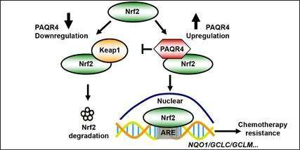 PAQR4 Regulates Chemoresistance in Non-small Cell Lung Cancer Through Inhibiting Nrf2 Protein Ubiquitination and Degradation
