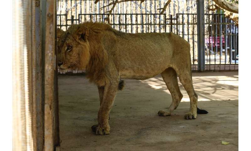 Park officials and medics said the lions' conditions  deteriorated over the past few weeks, with some losing almost two-thirds o