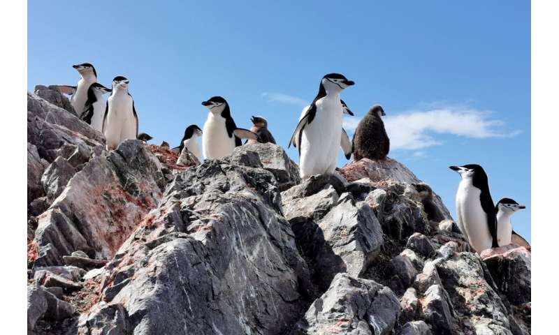 Penguins are starving as Antarctica gets warmer—researchers use drones to count the losses