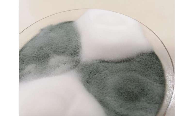 Penicillium camemberti: una historia de domesticación del queso
