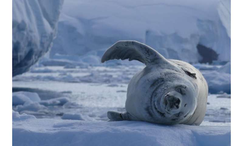People power and satellites help scientists study climate impacts on Antarctic seals