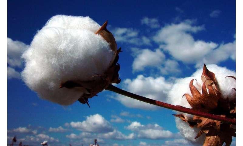 Picking up threads of cotton genomics