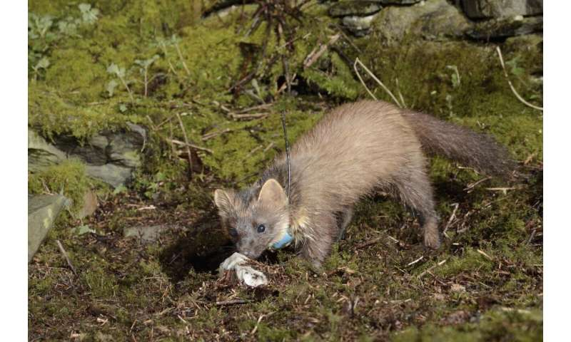 Pine martens like to have neighbors -- but not too near