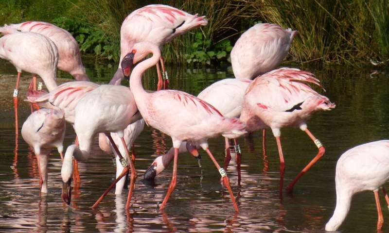 Pinker flamingos more aggressive