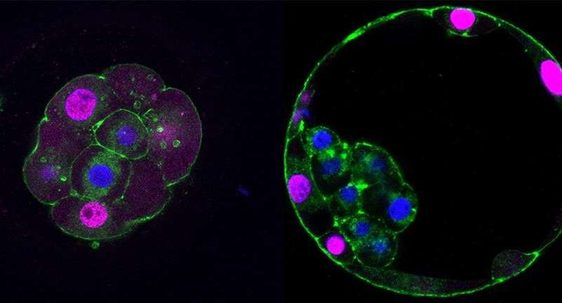 Placental development takes place days before the embryo forms, study finds