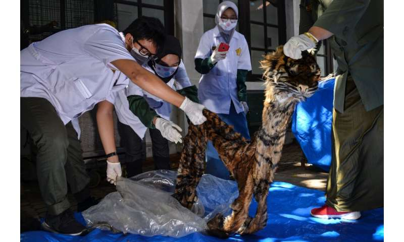 Poaching is responsible for almost 80 percent of Sumatran tiger deaths, according to TRAFFIC, with fewer than 400 believed to re