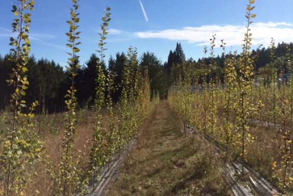 Poplars genetically modified not to harm air quality grow as well as non-modified trees