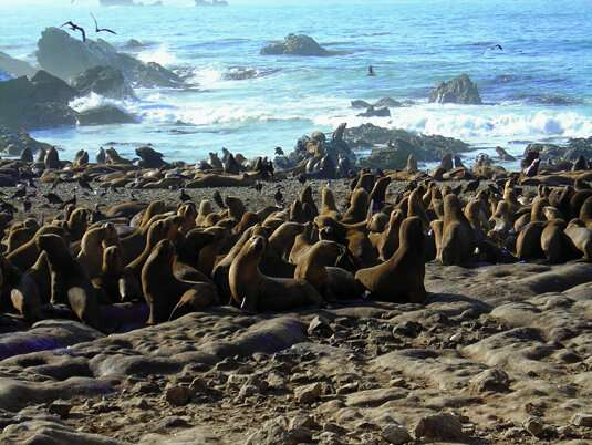 Population ecology: Origins of genetic variability in seals