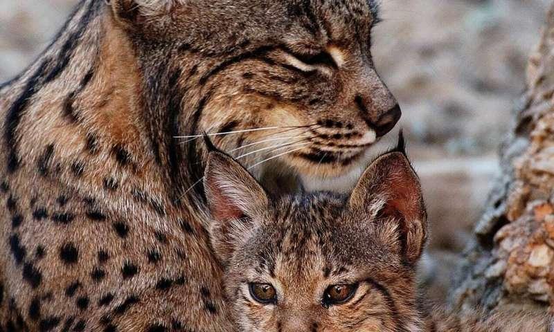 Preservation of testicular cells to save endangered feline species