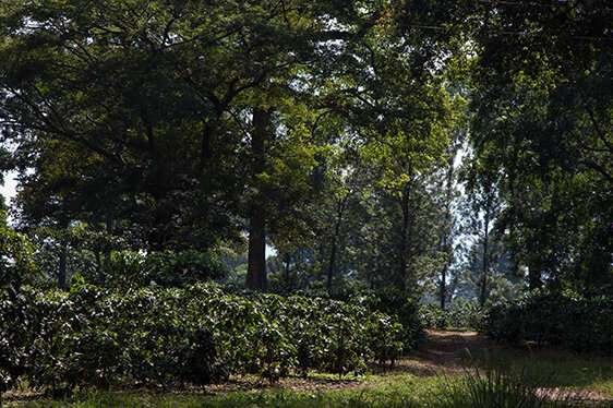 Preserving coffee and forests in Ethiopia for a sustainable future