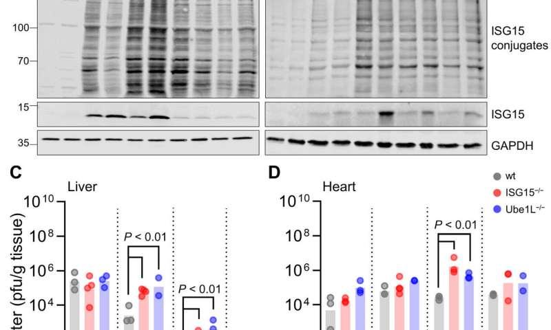 Protein modification with ISG15 blocks coxsackievirus pathology via antiviral and metabolic reprogramming