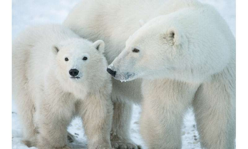 """We cannot build a fence to protect polar bears from rising temperatures,"" said Steven Amstrup, chief scientist of Pol"
