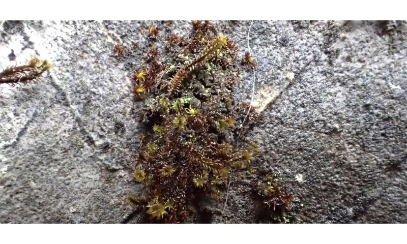 Rare moss clinging to life on B.C. cliff should be protected, says expert