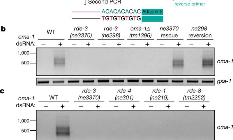 RDE-3 found to add pUG tails to targets of RNA interference and to transposon RNAs