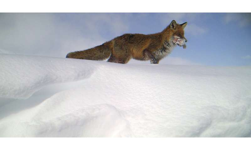 Red fox displaces Arctic fox thanks to littering