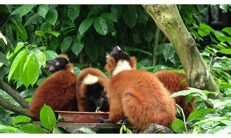 Red-ruffed lemurs in their enclosure at Singapore Zoo