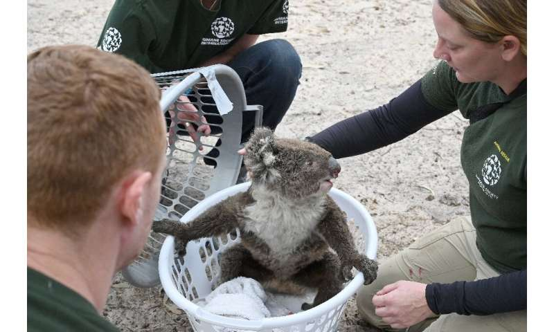 Rescued koalas are being taken to a makeshift sanctuary at Kangaroo Island's Wildlife Park in Australia after bushfires swept th