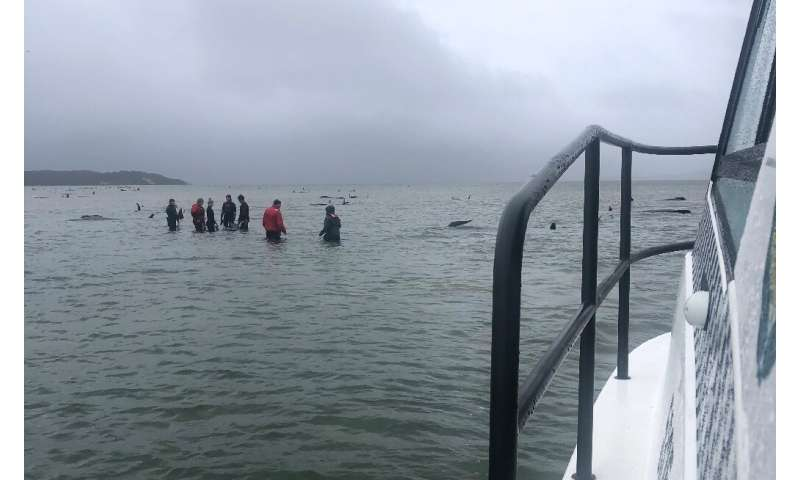 Rescuers are trying to help the surviving whales get back into the open ocean