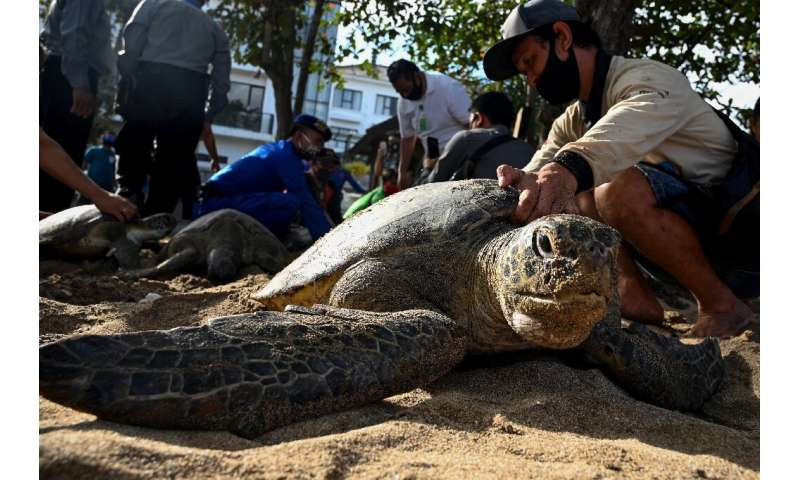 Rescuers released two dozen green sea turtles on Kuta beach near Denpasar in Bali after police arrested seven alleged poachers