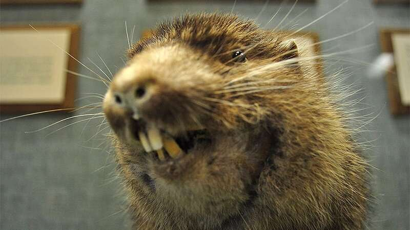 Researcher helps fill in the family tree of the shy mountain beaver