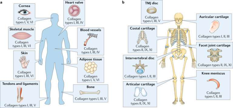 Researchers quantify, characterize and identify functions of collagen, its subtypes