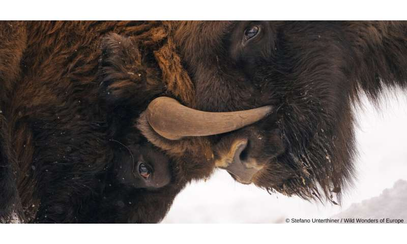Rewilding bison in the Carpathians to maintain ecological connectivity and keep ecological corridors open