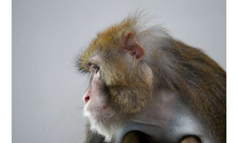 Rhesus macaques are often used in scientific experiments because of their similarities to humans