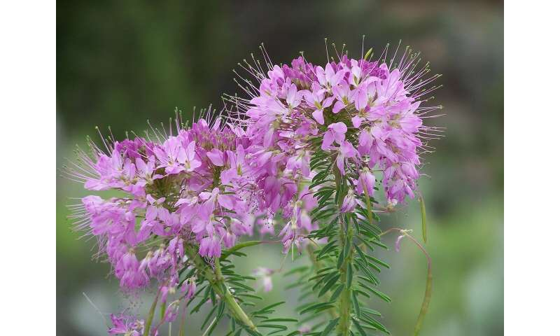 rosebay willowherb flower