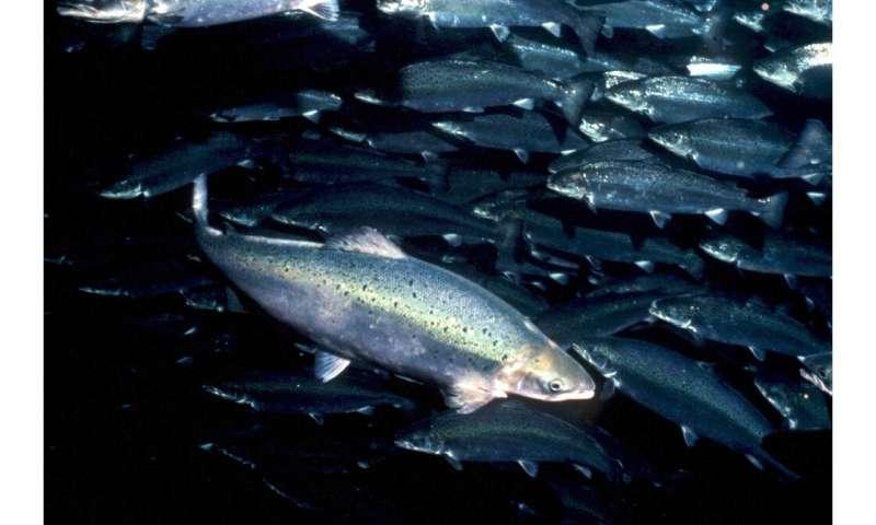 Salmón en una granja de salmón de Noruega
