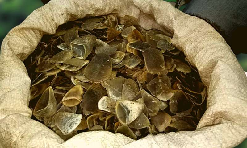 Scales of critically endangered pangolin seized in Sumatra
