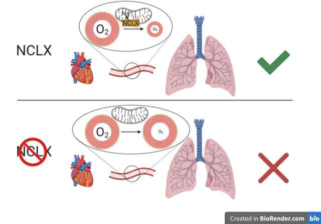 Scientists at the CNIC and IIS Princesa decipher a key mechanism in hypoxia