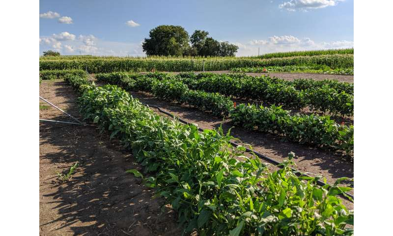 Scientists further cowpea research--boosting canopy CO2 assimilation, water-use efficiency