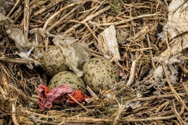 Seabird nests are full of discarded plastic debris