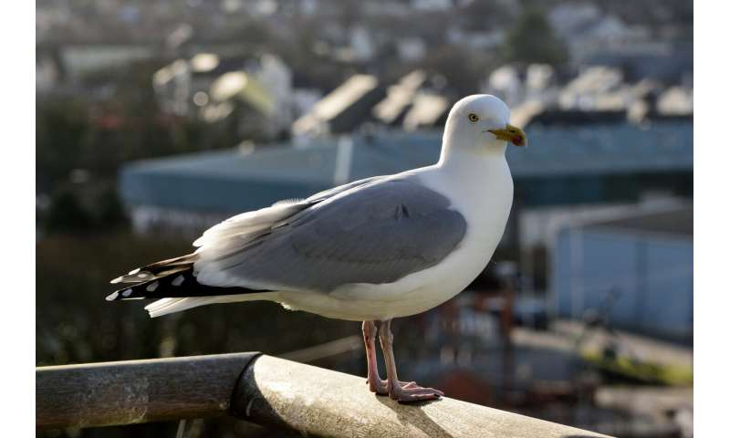 Seagulls favor food humans have handled