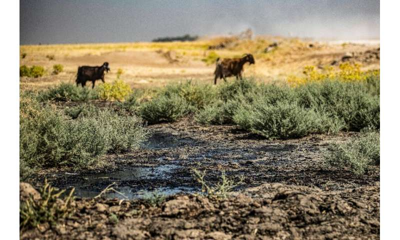 Sheep graze and drink from a stream polluted by an oil spill near the village of Sukayriyah, in the countryside south of Rmeilan