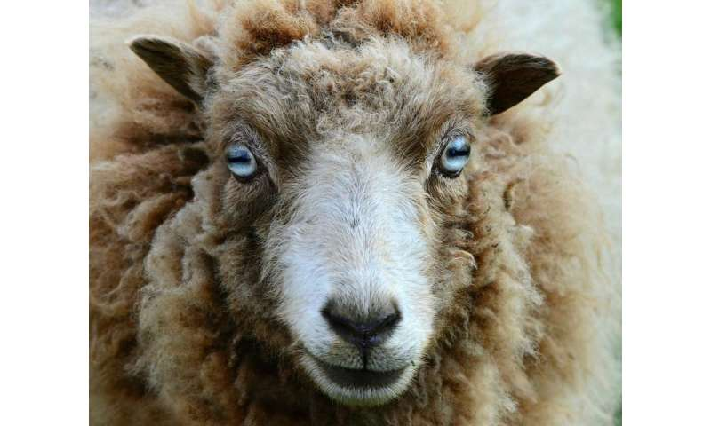 Sheep know the grass isn't always greener when it comes to their health