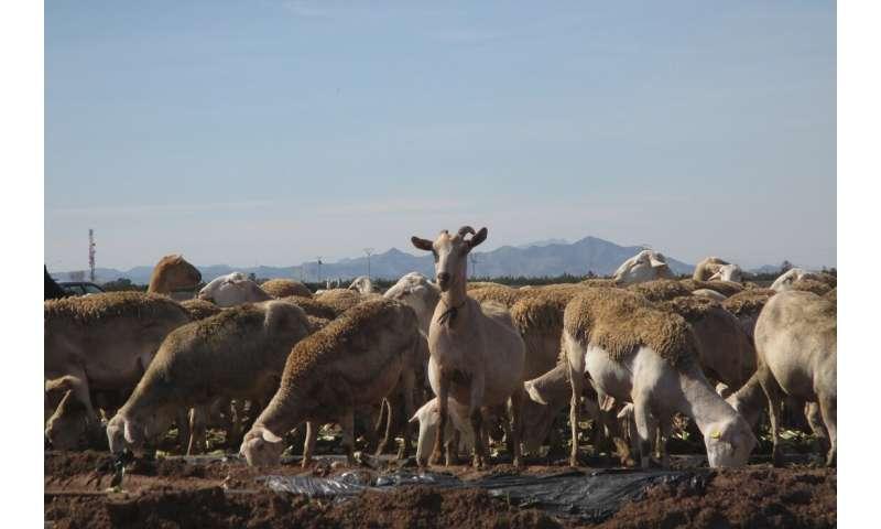 Ovejas muestran la contaminación por microplásticos en los suelos agrícolas de Murcia