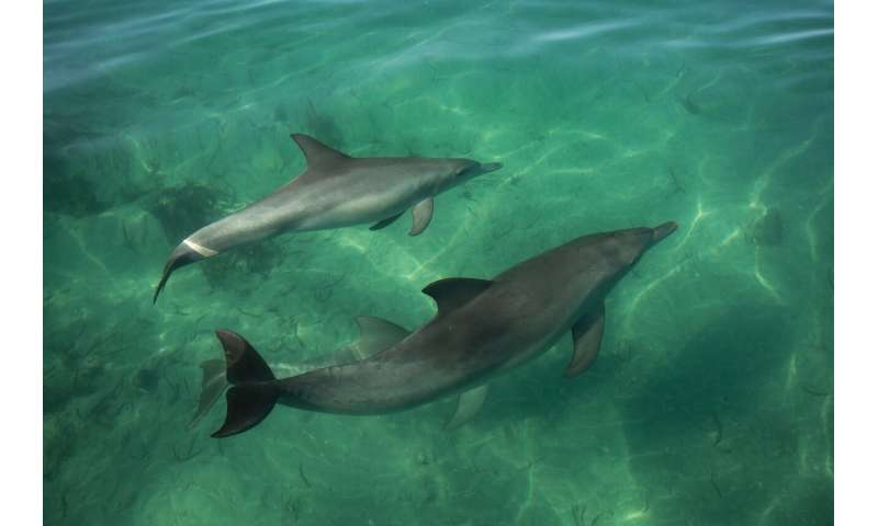Shelling out for dinner -- Dolphins learn foraging skills from peers